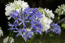 Agapanthus Midnight Blue Flower