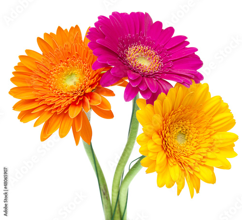 Gerber Daisy isolated on white background Poster Mural XXL