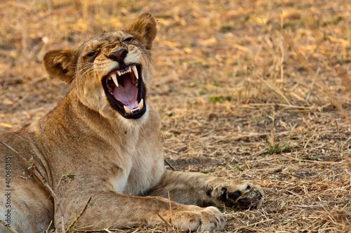 Photo  Lion in Ruaha National Park