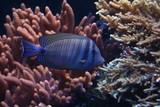 Fototapeta Fototapety do akwarium - Ryba tropikalna