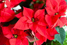 Red Christmas Star Flowers.