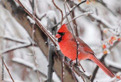 Photo  Northern Cardinal, Cardinalis cardinalis