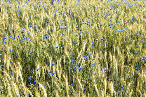 Fototapety, obrazy: A cornflower
