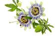 Kwiat męczennicy (passiflory) błękitnej