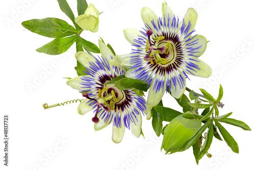 Kwiat męczennicy (passiflory) błękitnej - fototapety na wymiar