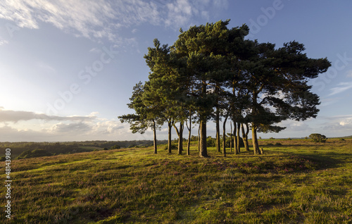 Fotografie, Obraz  Clump of Scots Pine Trees
