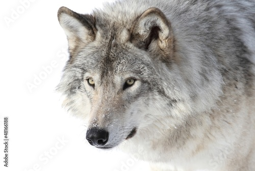 Stickers pour portes Loup portrait de loup gris