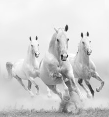 Panel Szklanywhite horses in dust