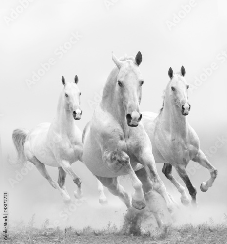 Fototapeta white horses in dust obraz