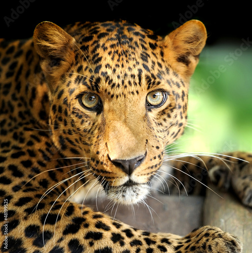 Photo Stands Leopard Leopard portrait