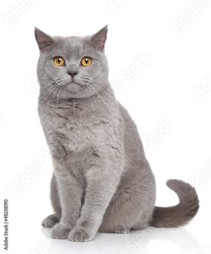 Photo  British Shorthair cat portrait