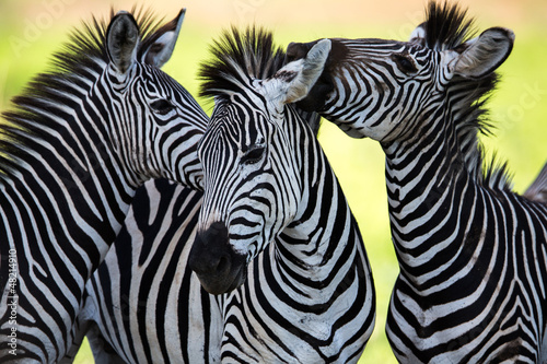 Montage in der Fensternische Zebra Zebras kissing and huddling