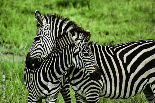 Montage in der Fensternische Zebra Zebras over green background in Zambia