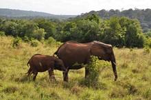 Red Elephants At Shimba Hills,...