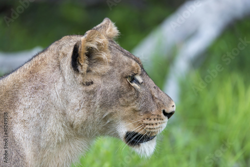 Photo  A Lioness