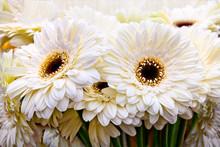 Bouquet Of White Gerberas.