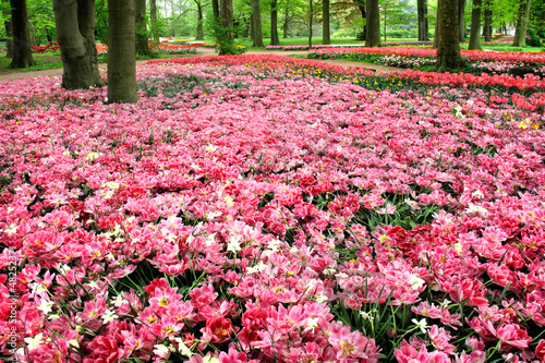 Foto op Canvas Candy roze Field of tulips in the spring park.