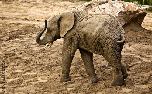 elephant (Loxodonta africana)
