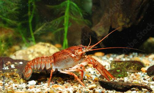 Narrow-clawed crayfish Astacus leptodactylus in nature