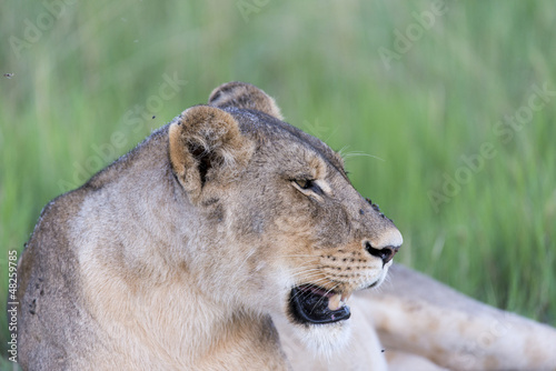 Photo  A Lioness