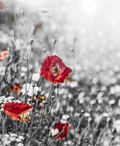 Acrylic Prints Red, black, white meadow with red poppies - monochromatic picture