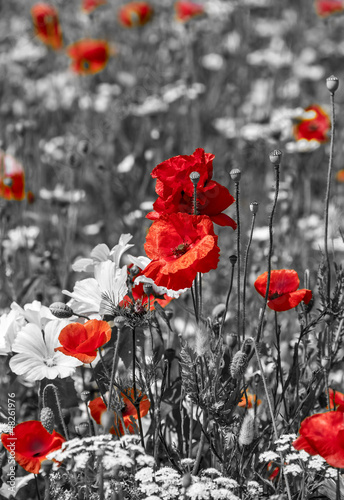 meadow with poppies -  monochrome picture - 48261976