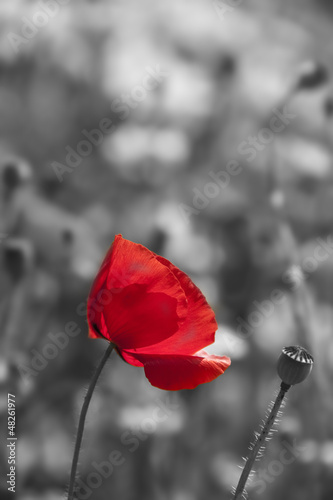 Acrylic Prints Red, black, white poppy flower in detail monochromatic picture