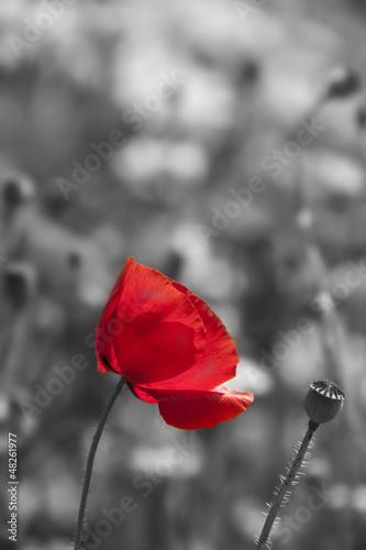 Keuken foto achterwand Rood, zwart, wit poppy flower in detail monochromatic picture