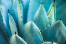 Sharp Pointed Agave Plant Leav...