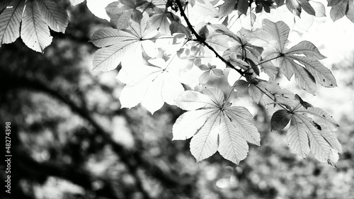 Plakaty czarno białe  and-black-and-white-beautiful-leaves-over-blurred-background