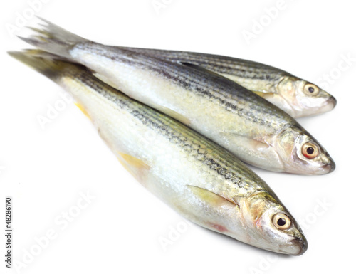 Tatkini fish of Indian subcontinent