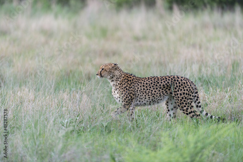 Poster Leopard Cheetah on the hunt
