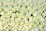 Wiele białych róż
