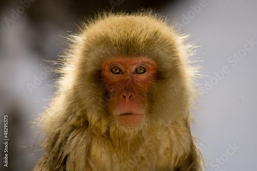 In de dag Aap Portrait of a snow monkey