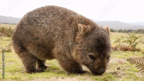 In de dag Australië Wombat