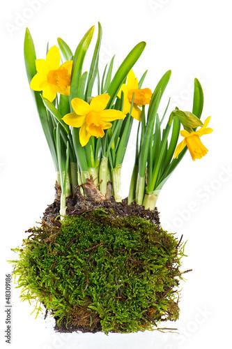 Papiers peints Narcisse fresh narcissus plant on white background