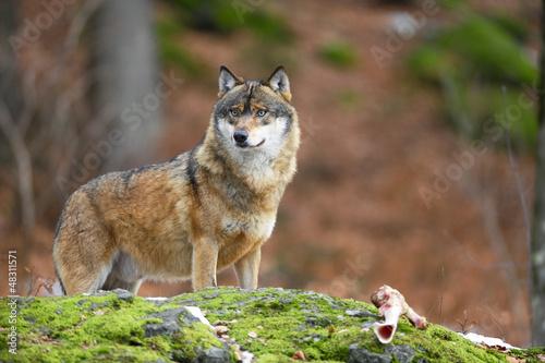 Foto op Aluminium Wolf Wolf mit Knochen