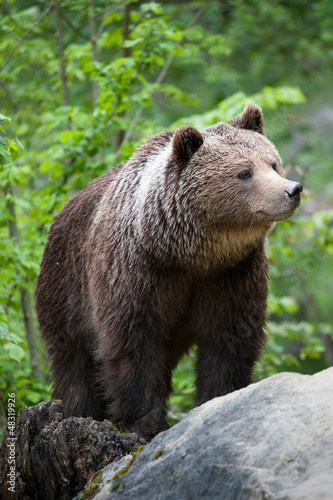 brown bear (lat. ursus arctos) Canvas Print