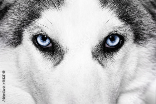 Cadres-photo bureau Loup close-up shot of husky dog