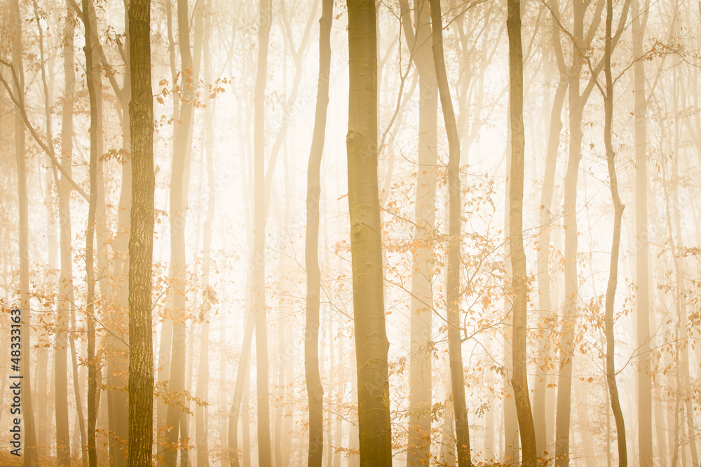 Fototapeta Fog with yellow sunlight covers trees in forest