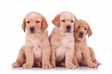 Three Labrador Retriever Puppy Dogs Sitting