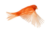 Red Canary Serinus Canaria, Flying
