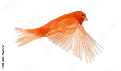 Photo  Red canary Serinus canaria, flying