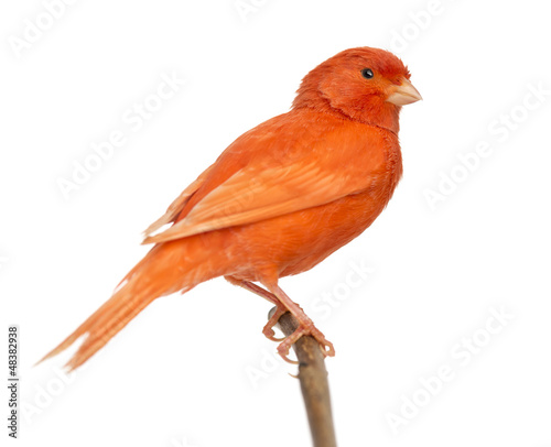 Photo  Red canary Serinus canaria, perched on a branch