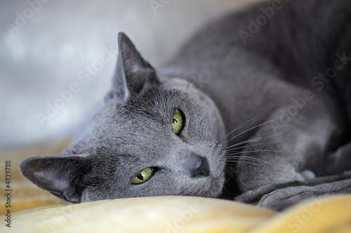 Obraz Rosyjski niebieski kot - fototapety do salonu