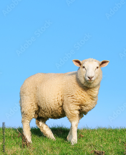 Tuinposter Schapen Sheep standing on seawall