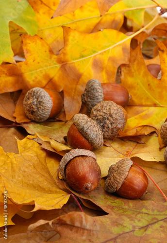 brazowe-zoledzie-na-jesiennych-lisciach-z-bliska