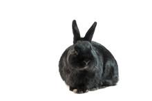 Black Rabbit Isolated On White Background