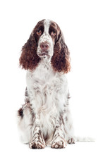 Springer Spaniel Dog Portrait ...