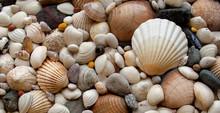 Sea Shells Seashells! - Scallo...